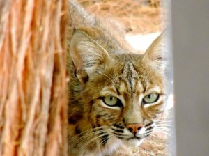 A bobcat lives on my sister in law's property in Arizona.