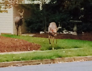 Deer Crossing Suburban Street (Their Daily Routine)